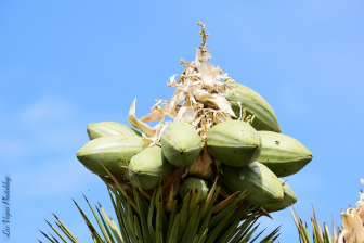 joshua-tree-seeds