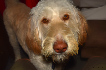 Blondie the Labradoodle