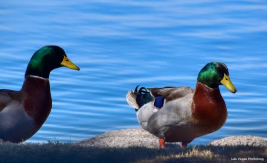 Two quackers