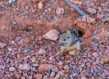 A Golden Mantled Ground Squirrel