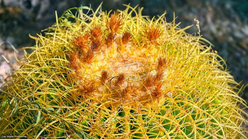 A California Barrel Cactus with tiny sprouts atop
