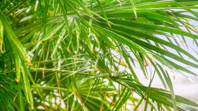 Water on the palm fronds